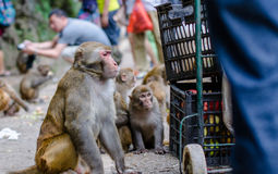 The monkey Royalty Free Stock Images