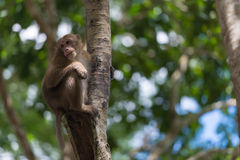 Monkey climb the tree. The monkey climb the tree in the forrest Royalty Free Stock Images