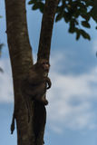 Monkey climb the tree. The monkey climb the tree in the forrest Royalty Free Stock Photos