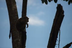 Monkey climb the tree in silhouette Royalty Free Stock Photos
