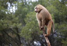 Monkey. Climbed a tree looking out of frame Royalty Free Stock Image
