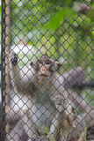 Monkey climbing in the cage. Royalty Free Stock Photos
