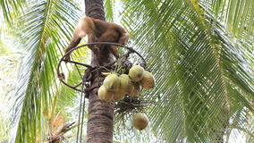 Monkey climbing coconut tree stock footage