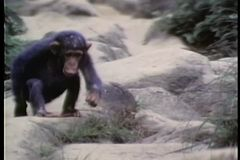 Monkey climbing down a rocky hill stock video
