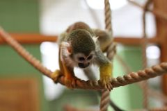 Monkey climbing a rope animal stock photo