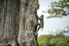 Monkey climbing tree Royalty Free Stock Images