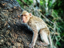 Monkey climbing tree in Thailand. Of Asia, animal wildlife in natural forest Stock Photos
