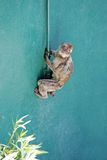 Monkey climbing wall in Gibraltar Royalty Free Stock Image