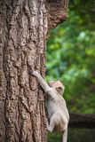 Monkey climbs a tree; Stock Image