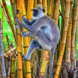 Monkey climbs a tree. Sri Lanka. Sri Lanka - Monkey on bamboo. Monkey climbs a tree Royalty Free Stock Image