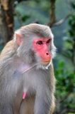 Monkey Close up. In Hong Kong Stock Image