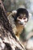 Monkey Close-up Royalty Free Stock Photo