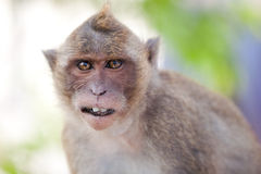 Monkey Close-Up Portrait Royalty Free Stock Photos