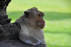 Monkey close-up Stock Photos