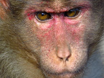 Monkey Closeup. An extreme closeup to the face of a monkey in Indian jungles Royalty Free Stock Photos