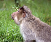 Monkey closeup. Monkey posing after putting a fruit in his mouth Stock Images