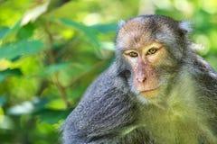 Monkey closeup royalty free stock photo