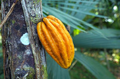 Monkey cocoa pod Herrania purpurea Royalty Free Stock Photos