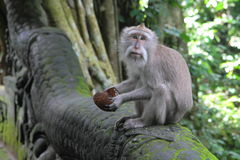 Monkey with a Coconut Royalty Free Stock Image