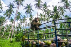 Monkey coconut gatherer sit on pickup truck. Samui island, Thailand Royalty Free Stock Photos
