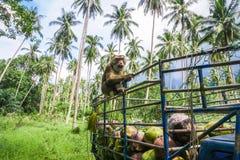 Monkey coconut gatherer sit on pickup truck. Samui island, Thailand Stock Photos