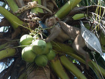 Monkey and coconut at palm Royalty Free Stock Image