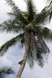 Monkey in a coconut tree. A monkey climbs a coconut tree to pick coconuts on Koh Samui, Thailand Royalty Free Stock Image