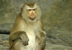Monkey color brown Stock Photos