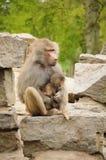 Monkey com macaco do bebê Imagens de Stock
