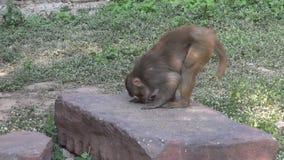 monkey comer o alimento de pássaros na pedra em Agra, Índia video estoque