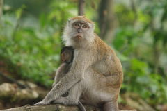 Monkey. A monkey comforting her baby in the wild Stock Photography