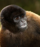 Monkey. A common woolly monkey in the jungle of Ecuador stock image