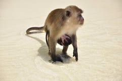 Monkey con el bebé asociado, en la playa imagenes de archivo