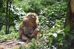 Monkey con el bebé en parque nacional en Tailandia Imagenes de archivo