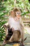 Monkey con la scimmia del bambino fotografia stock