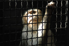 Monkey in the conclusion Stock Photography