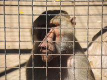 Monkey in confinement. Monkey in confinement watching behind bars Stock Images