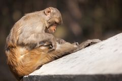 The monkey considers the knee in search of fleas. The adult monkey tries to discover fleas on herself on a knee, basking in the sun, on a gray wall Royalty Free Stock Photography