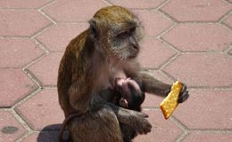 Monkey with cookie in hand and baby in arms. A monkey with a cookie in his hand and a baby monkey in his arms royalty free stock photography