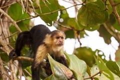Monkey in Costa Rica Royalty Free Stock Photo