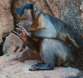 Monkey Counting. Hooded capuchin monkey intently counting using it's fingers royalty free stock photography