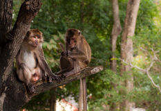 Monkey couple. Couple of monkeys sitting on the tree and relaxing Stock Image