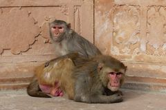 Monkey couple cuddling Stock Photo