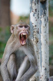 Monkey , Crab-eating macaque Stock Photo