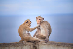 Monkey (crab-eating macaque) Asia Thailand Royalty Free Stock Photo