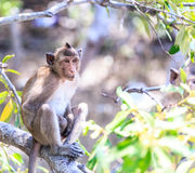 Monkey (crab-eating macaque) Asia Thailand Royalty Free Stock Photography
