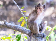 Monkey (crab-eating macaque) Asia Thailand Stock Photos