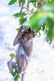 Monkey (crab-eating macaque) Asia Thailand Royalty Free Stock Images