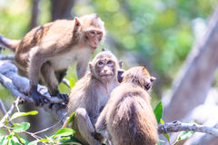 Monkey (crab-eating macaque) Asia Thailand Royalty Free Stock Image