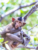 Monkey (crab-eating macaque) Asia Thailand Royalty Free Stock Photos